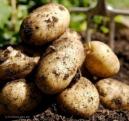 2-картофель